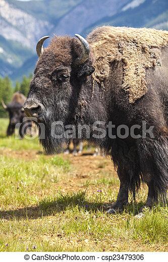 American Bison or Buffalo - csp23479306