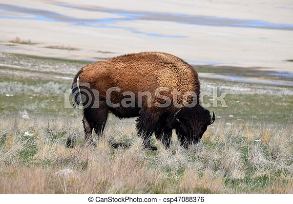 American Bison Photo - csp47088376