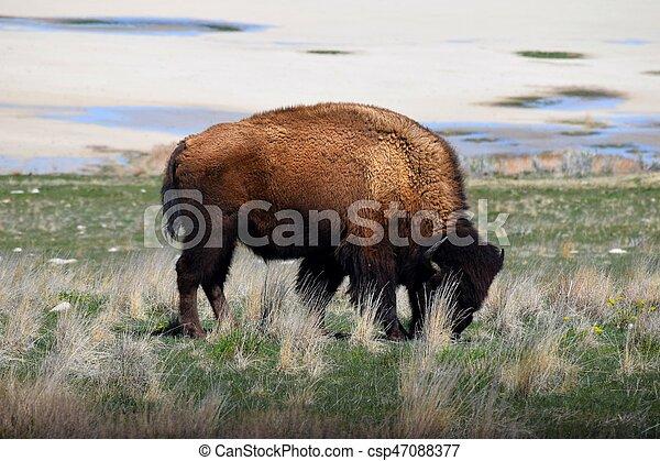 American Bison Photo - csp47088377