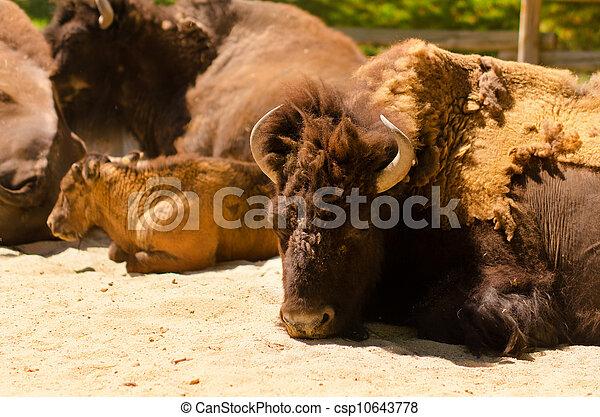 American bison - csp10643778