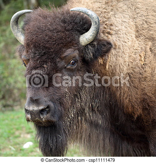 American bison - csp11111479