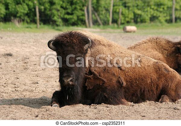 american bison - csp2352311