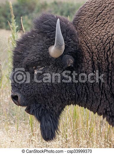 American Bison - csp33999370