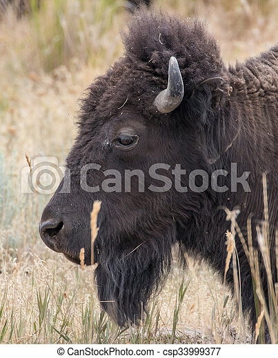 American Bison - csp33999377