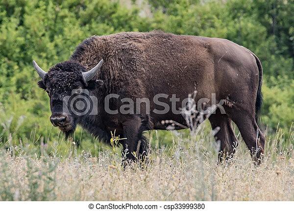 American Bison - csp33999380