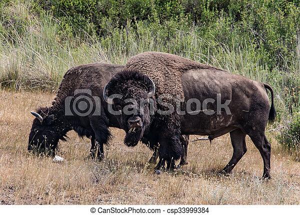 American Bison - csp33999384