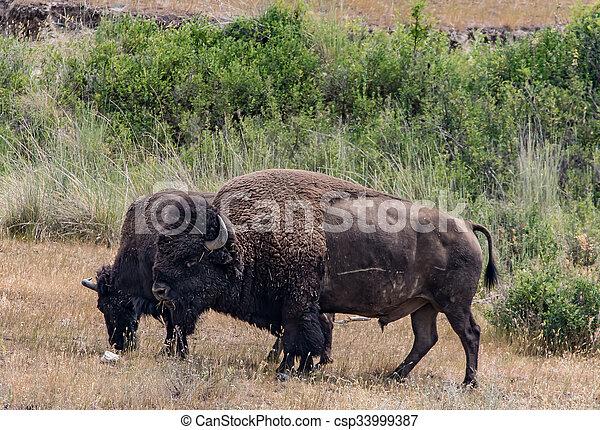 American Bison - csp33999387