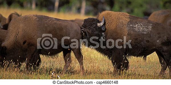 American Bison - csp4660148