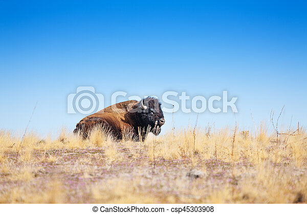 American bison profile laying in dry grass prairie - csp45303908