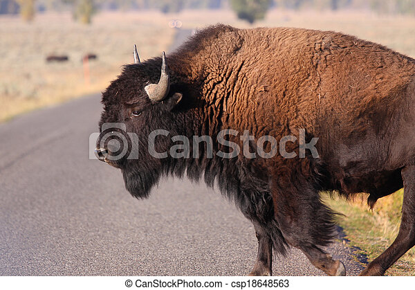 American bison - csp18648563