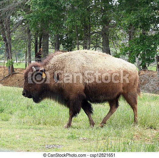 American Bison - csp12821651
