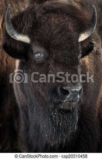 American Bison - csp20310458