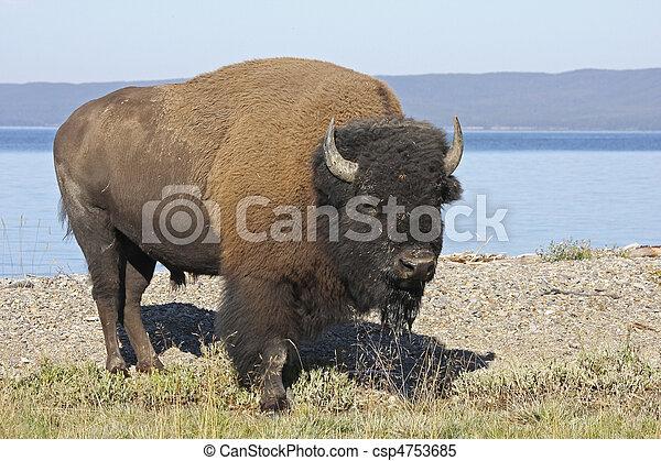 American Bison - csp4753685