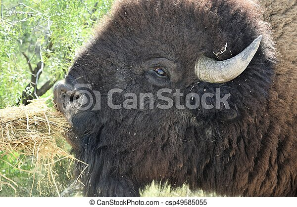 American Bison - csp49585055