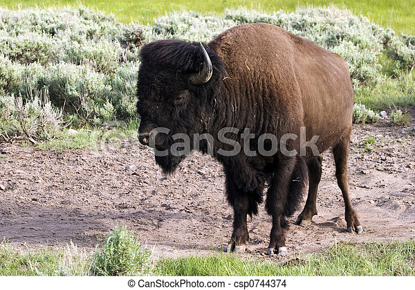 American bison - csp0744374