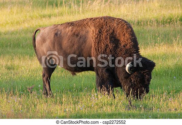American Bison - csp2272552