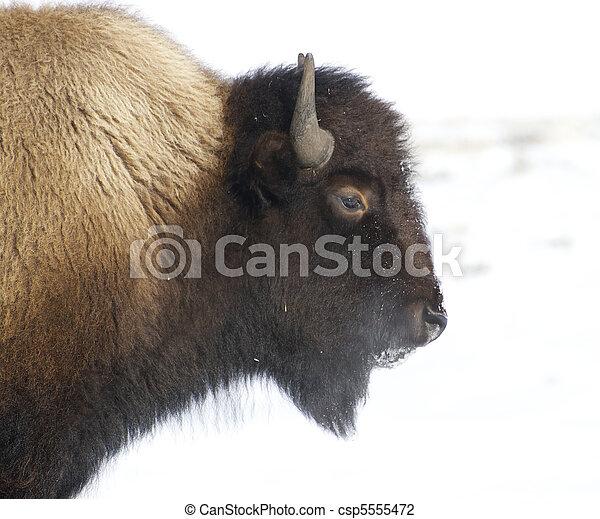 American Bison - csp5555472