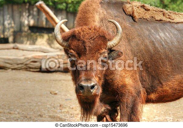 American bison - csp15473696