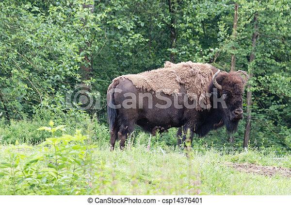 american bison - csp14376401