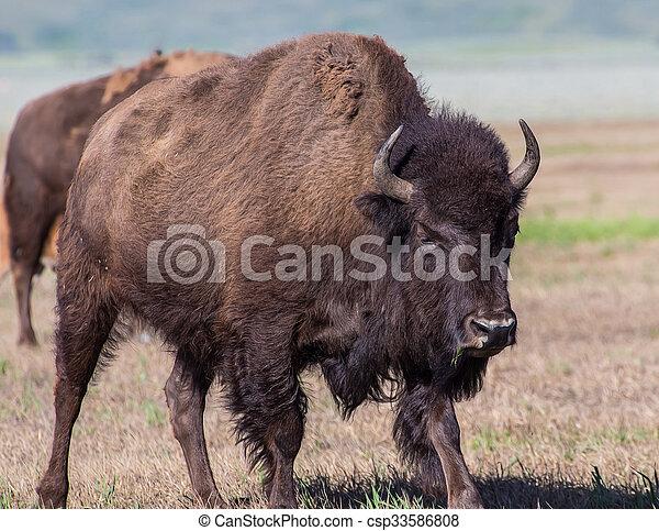 American Bison - csp33586808