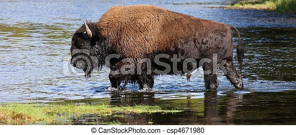 American Bison - csp4671980