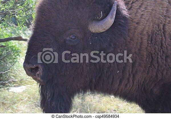 American Bison - csp49584934