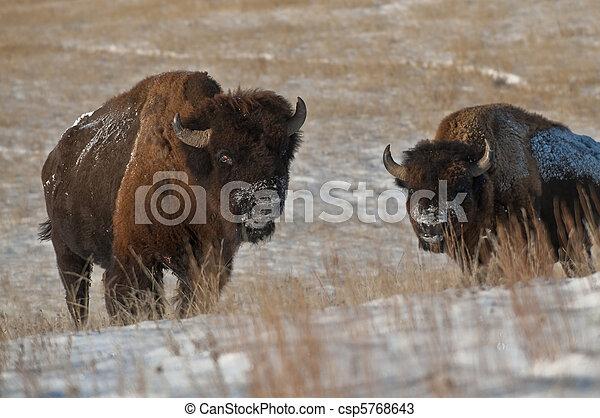American Bison - csp5768643