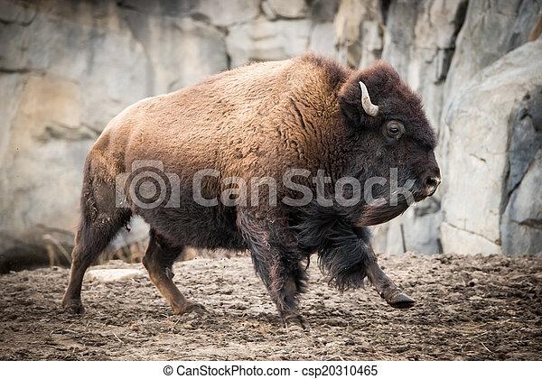 American Bison V - csp20310465