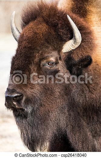 American Bison VI - csp26418040