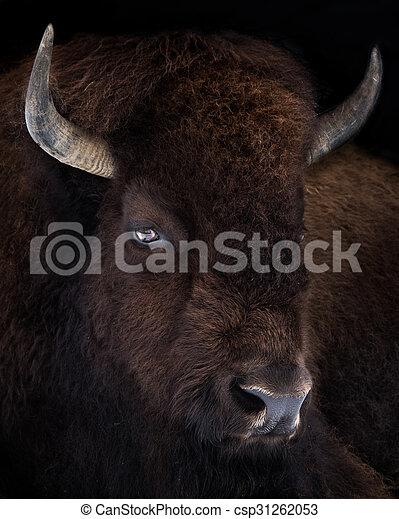 American Bison VII - csp31262053