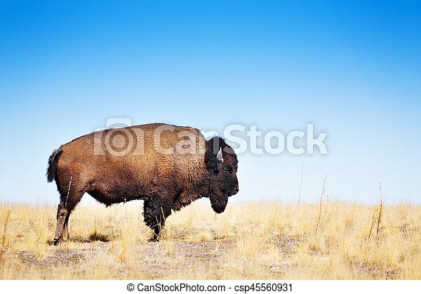 American bison walking across a prairie landscape - csp45560931