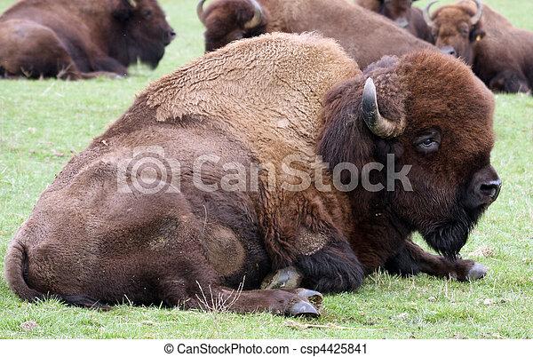 American Bison/Buffalo. Photo taken at Northwest Trek Wildlife Park, WA. - csp4425841