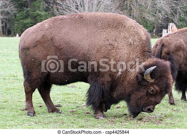 American Bison/Buffalo. Photo taken at Northwest Trek Wildlife Park, WA. - csp4425844