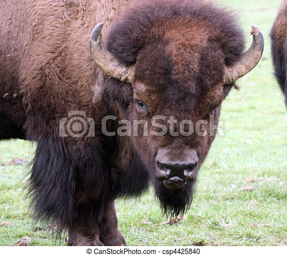 American Bison/Buffalo. Photo taken at Northwest Trek Wildlife Park, WA. - csp4425840