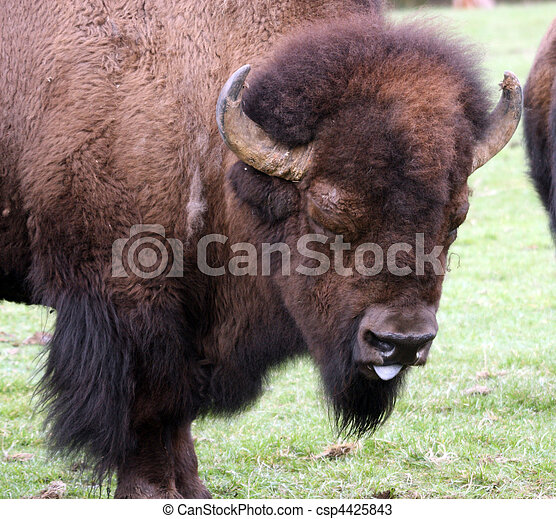 American Bison/Buffalo. Photo taken at Northwest Trek Wildlife Park, WA. - csp4425843