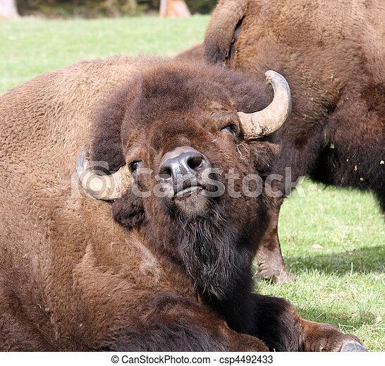 American Bison/Buffalo. Photo taken at Northwest Trek Wildlife Park, WA. - csp4492433