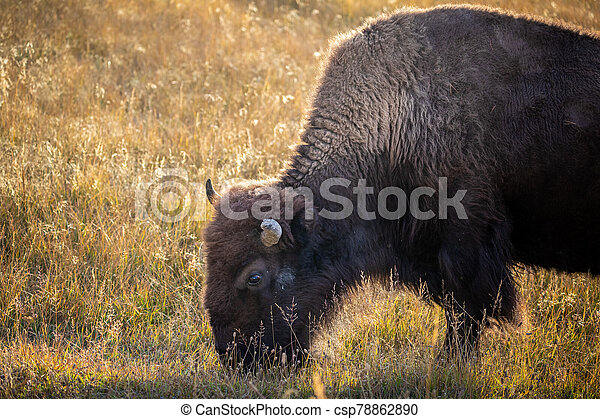 American bisons on grass field in Yellowstone. - csp78862890