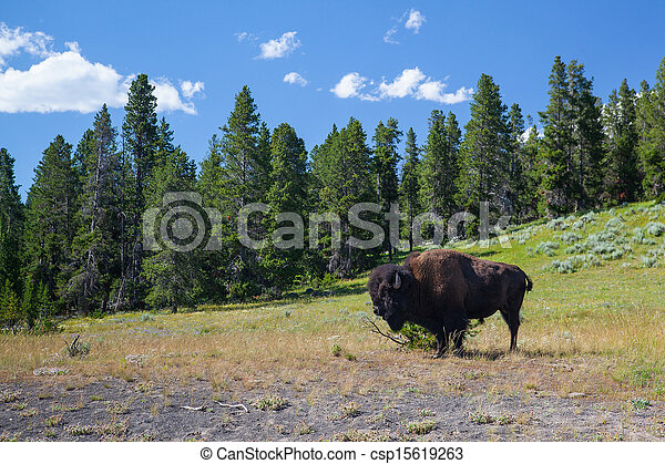 American Bizon in Yellowstone National Park - csp15619263