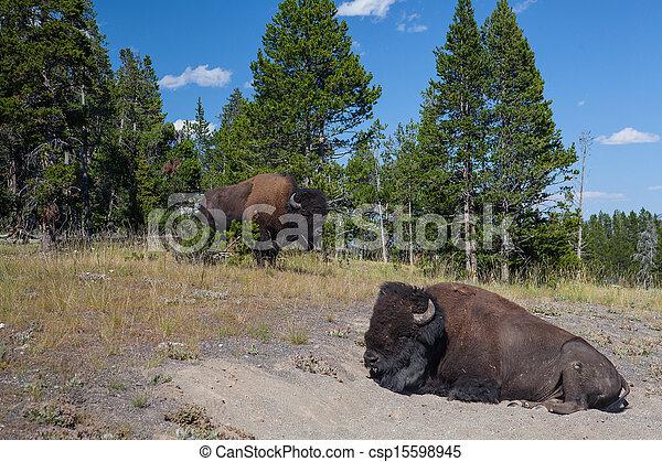 American Bizon in Yellowstone National Park - csp15598945