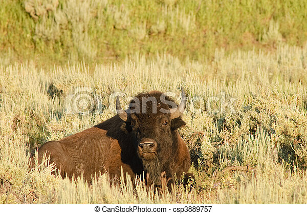 American Buffalo - csp3889757