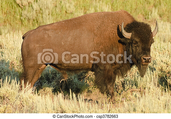 American Buffalo - csp3782663