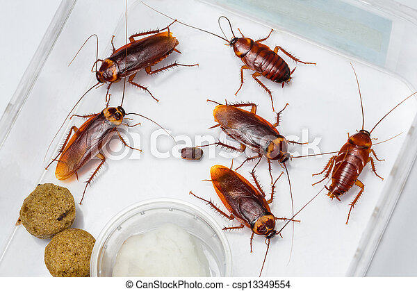 American cockroach - csp13349554