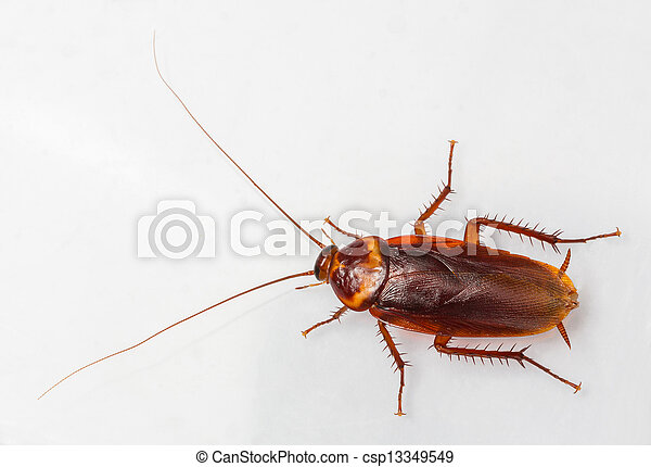 American cockroach - csp13349549