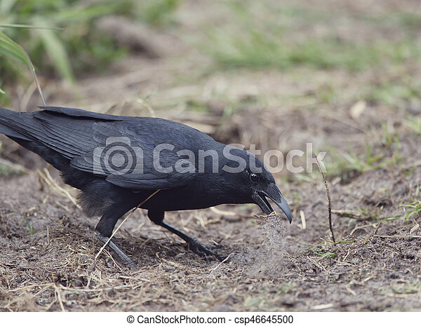 American crow standing on the ground - csp46645500