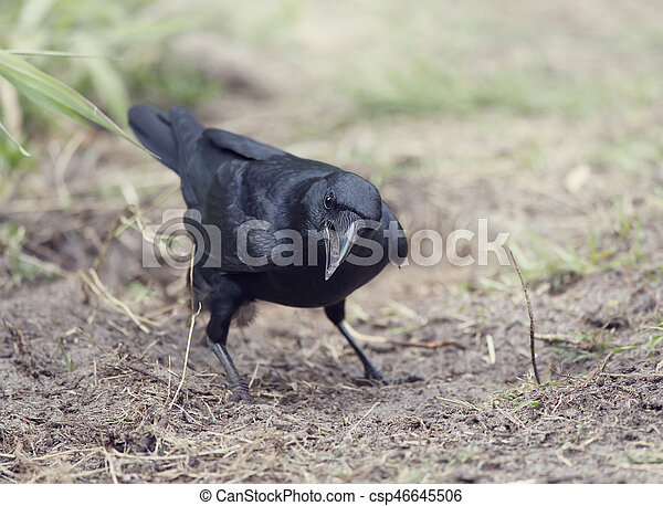 American crow standing on the ground - csp46645506