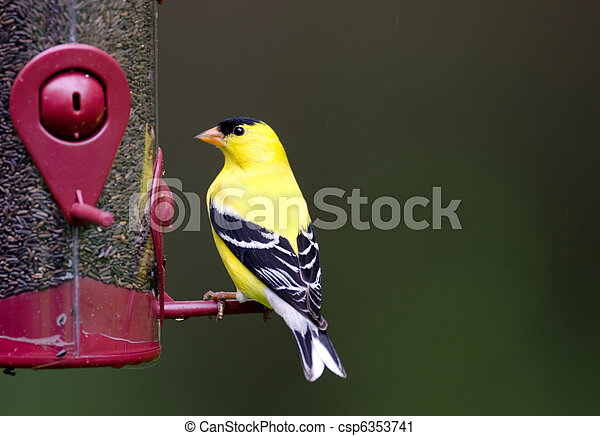 American goldfinch at feeder - csp6353741