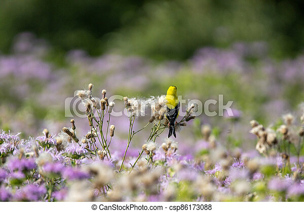 American Goldfinch Sitting on Thistle Down - csp86173088