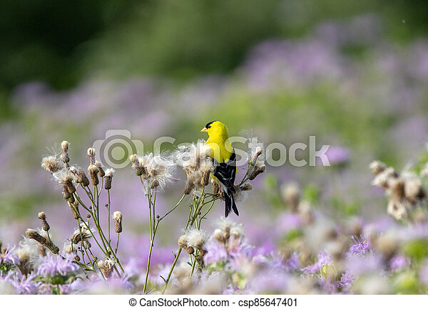 American Goldfinch Sitting on Thistle Down - csp85647401