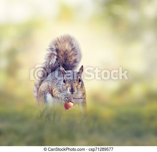 American gray squirrel in grass - csp71289577