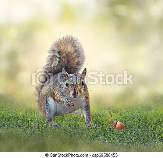 American gray squirrel on grass - csp69588455